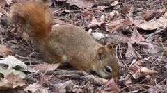 Red Squirrel Feeding Fall Stock Footage