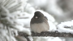 Junco Adult Lone Winter Snow Branch Stock Footage
