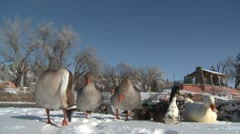 Waterfowl Black Hills Winter Stock Footage