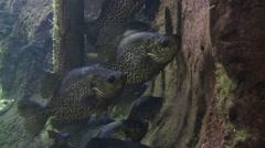 Black Crappie Pair Resting Underwater Stock Footage