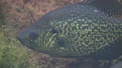 Black Crappie Lone Underwater Stock Footage