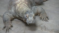 Komodo Dragon Resting Stock Footage