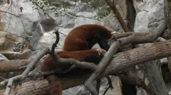Red Panda Resting Stock Footage