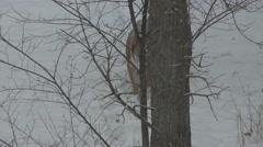 Siberian Tiger Walking Winter Amur Stock Footage