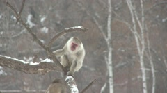Japanese Monkey Winter Snow Macaque Stock Footage