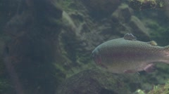 Rainbow Trout Underwater Stock Footage