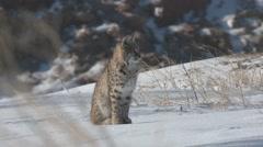 Bobcat Winter Stock Footage