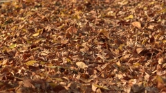 ULTRA HD 4K Beautiful yellow brown rug leaves autumnal season day leaf fall park Stock Footage