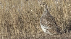 Sharp-tailed Grouse Winter Stock Footage