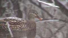 Mallard Hen Lone Winter Snowing Stock Footage