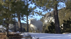 Mountain Goat Winter Stock Footage