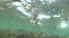 Bufflehead Drake Several Feeding Winter Diving Underwater Stock Footage