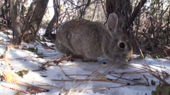 Cottontail Rabbit Lone Feeding Winter Ground Level Closeup Stock Footage