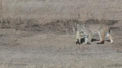 Bobcat Hunting Winter Predation Kill - stock footage