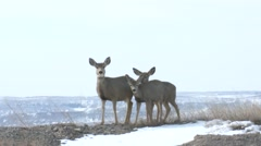 Mule Deer Doe Adult Young Family Alarmed Winter Stock Footage