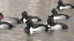 Ring-necked Duck Drake Adult Several Winter Stock Footage