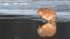 Muskrat Grooming Winter Stock Footage