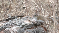 Deer Mouse Lone Spring Stock Footage