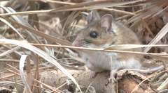 Deer Mouse Lone Spring Closeup Stock Footage