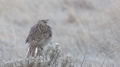 Western Meadowlark Male Lone Calling Spring Stock Footage