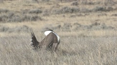 Sage Grouse Male Lone Breeding Spring Calling - stock footage
