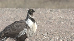 Sage Grouse Male Herd Flying Spring Road - stock footage