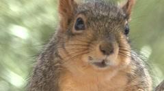 Fox Squirrel Spring Stock Footage