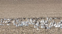 Snow Goose Flock Alarmed Spring Cornfield Slow Motion Stock Footage