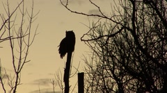 Great Horned Owl Lone Winter Sunrise Silhouette Orange Sky Tree Backlight Stock Footage