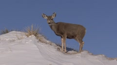 Mule Deer Doe Lone Feeding Winter Snow - stock footage