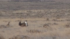 Sage Grouse Male Female Breeding Winter Lek Zoom In Out - stock footage