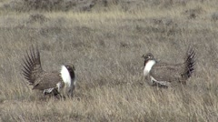 Sage Grouse Male Pair Fighting Winter - stock footage
