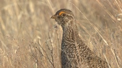 Sharp-tailed Grouse Winter Closeup Slow Motion Stock Footage