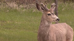 Stock Video Footage of Mule Deer Buck Adult Spring Velvet Antlers