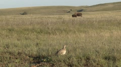 Sharp-tailed Grouse Lone Spring Stock Footage