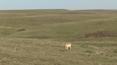 Pronghorn Antelope Buck Adult Lone Feeding Spring Stock Footage