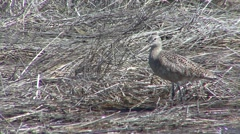 Marbled Godwit Lone Spring Stock Footage