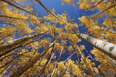 yellow aspen - stock photo