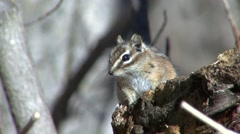 Least Chipmunk Lone Spring Stock Footage