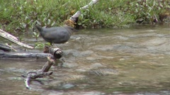 Dipper Lone Feeding Spring Stock Footage