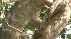 Mourning Dove Lone Summer Stock Footage