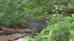 White-winged Dove Lone Walking Summer Stock Footage
