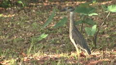 Yellow-crowned Night Heron Immature Lone Summer Stock Footage