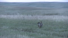 Prairie Chicken Male Adult Lone Breeding Spring Dawn Stock Footage