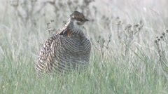 Prairie Chicken Male Lone Breeding Spring Courtship Display Lek Stock Footage