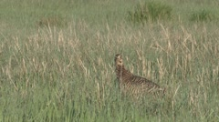 Prairie Chicken Female Lone Spring Stock Footage