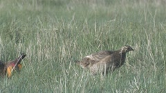 Prairie Chicken Male Female Adult Pair Breeding Spring Lek Courtship Display Stock Footage