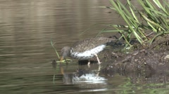Spotted Sandpiper Lone Feeding Spring - stock footage