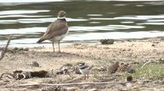 Killdeer Adult Young Family Summer Stock Footage