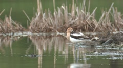 Avocet Lone Resting Summer Stock Footage